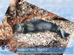 Fok Mars - Akdeniz Foku