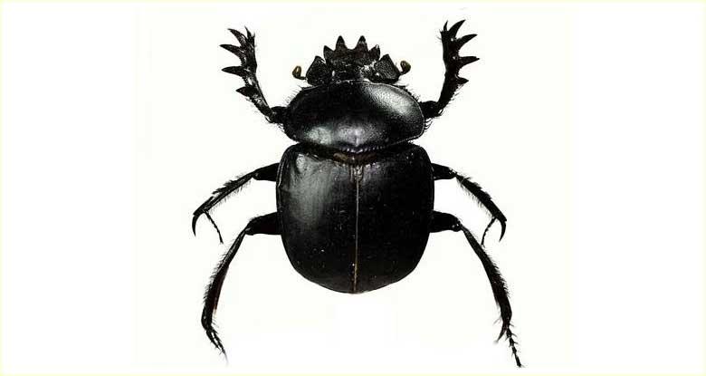 Bok Böceği (Scarabaeus)